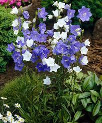 Prachtklokje         Campanula Persicifolia – Alba