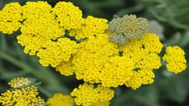 Gele Duizendblad         Achilla Filipendulina – Cloth of Gold