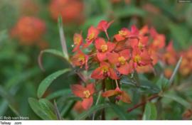 Wolfsmelk         Euphorbia Polychroma – Purpurea