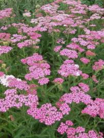 Roze Duizendblad         Achilla Millefolium – Cerise Queen