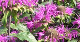 Bergamotplant         Monarda – Beauty of Cobham