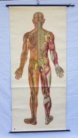 Schoolplaat menselijk lichaam
