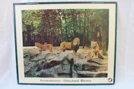 Schoolplaat leeuwenterras Ouwehands Dierenpark