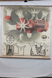 Schoolplaat pfurtscheller van koraal