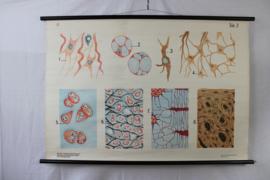 Schoolplaat van bloedcellen
