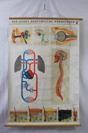 Schoolplaat van de bloedsomloop, het oor, de neus en het oog