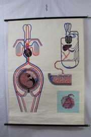 Schoolplaat van de bloedsomloop van moeder en kind