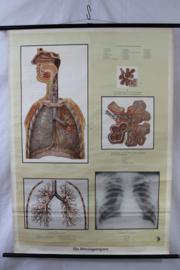 Schoolplaat van het ademhalingsorgaan