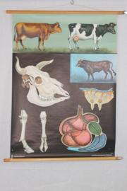 Schoolplaat van het rund