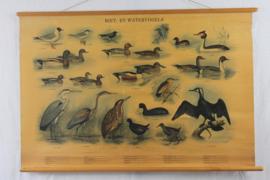 Schoolplaat van Riet en watervogels