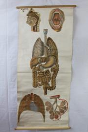 Schoolplaat van het ademhalingsstelsel