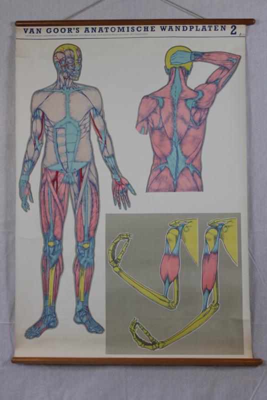 Schoolplaat van de anatomie van de spieren