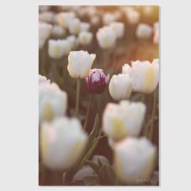 Tulp paars 3