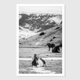 Iceland horse 1