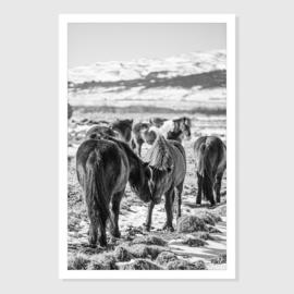 Iceland horse 5