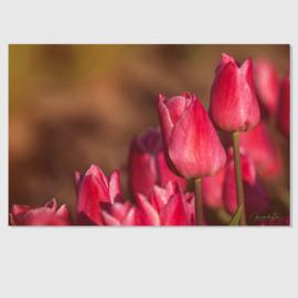 Tulp roze