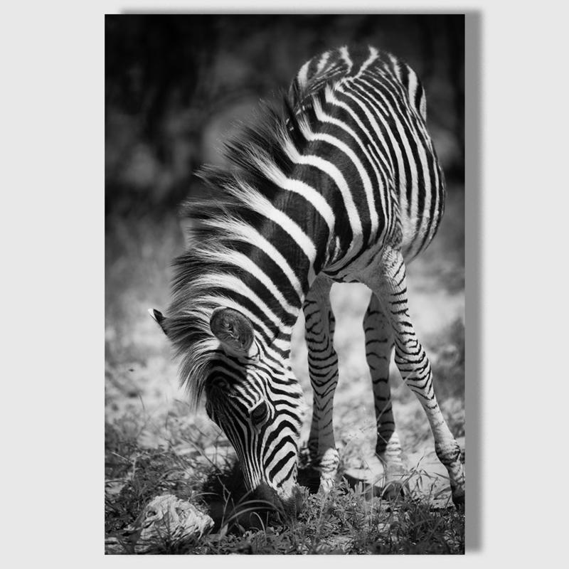 Canvas Zebra
