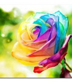 Gekleurde Roos 20x30