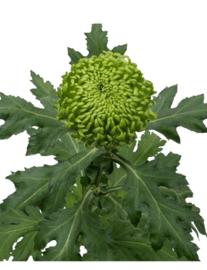 Chrysant groen