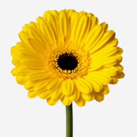 Gerbera geel