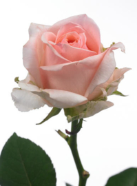 Roos roze