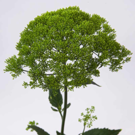 Trachelium groen