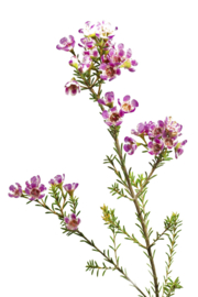 Waxflower wit/roze