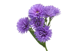 Aster paars