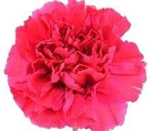 Anjer roze