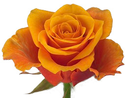 Roos oranje