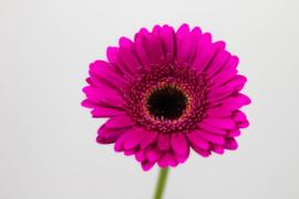 Gerbera fel roze