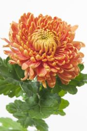 Chrysant oranje