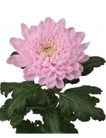 Chrysant roze