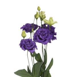 Lisianthus paars