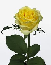 Roos geel