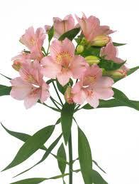 Altroemeria roze