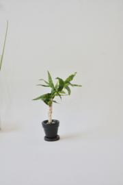 Kamerplant in zwarte pot met schotel