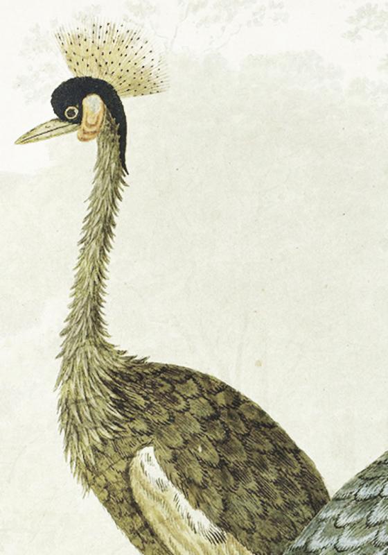 Oldscool Peacocks