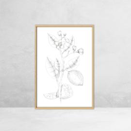Poster Botanische Illustratie - Citroen