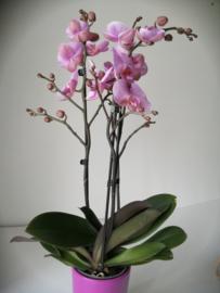 Phaleanopsisorchidee Roze/ 3takken