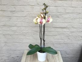 Orchidee Phaleanopsis