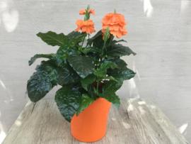 Crossandra Fortuna in pot
