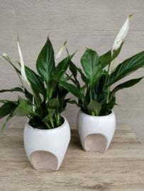 Spathiphyllum in design potje