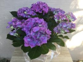 Hortensia paars/Blauw