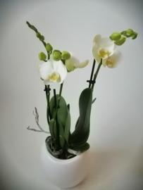 Phaleanopsis orchidee medi
