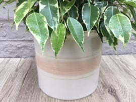 Ficus in pot