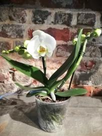 Phaleanopsis orchidee met 2 takken