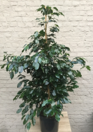 Ficus Danniële