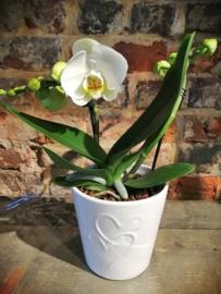 Phaleanopsis orchidee 2t in pot