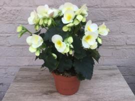 Begonia Wit